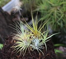 Airplants- 5 Different Collection Only $6.95