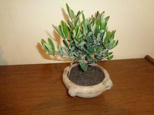 Olea 1 Stück Olivenbaum-Bonsai in Schale 15 cm Höhe 25 cm