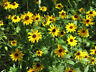 30+ RUDBECKIA BLACK EYED SUSAN FLOWER SEEDS / DEER RESISTANT /  PERENNIAL