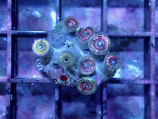 Star Glitter Zoa / Paly -Wysiwyg Live Coral Frag- Coral Savers