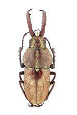 Lucanidae, Pholidothus spixi