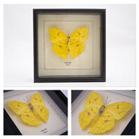 Real Rurina Butterfly Hand Set and Framed in UK Beautiful Gift - Taxidermy
