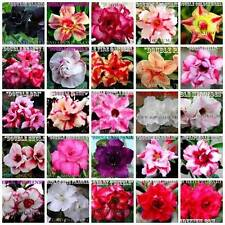 New listing Adenium Obesum Desert Roses Double / Triple Flowers Mixed Assorted 10 Seeds #G