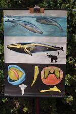 Rollkarte Schulwandkarte Wandkarte Blauwal Säugetier Karte Schulkarte Lehrkarte