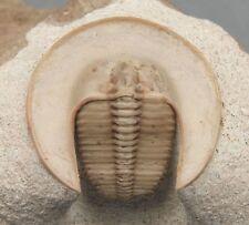 Russian Trilobites Scotoharpes Spasskii 1% Restoration Museum Quality