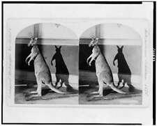 Photo of Stereograph,Kangaroo,Mars upial,Animal,1876,Phildade lphia,Pennsylv 4929