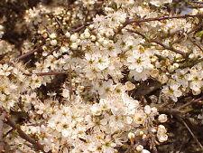 10 Blackthorn Hedging 40-60cm, Prunus Spinosa 2ft Sloe Hedge. Flowers & Fruit