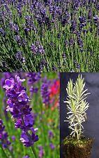 LAVANDULA ANGUSTIFOLIA alveolus lavender English plant English lavender plant