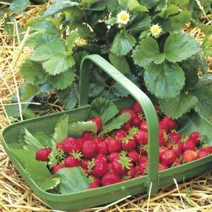 Strawberry 'Cambridge Rival' 1 very small plant
