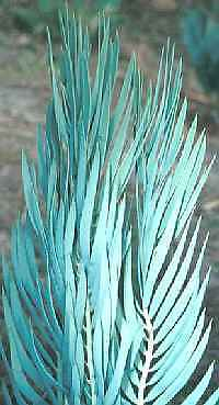 Ice Blue Cycads Nursery