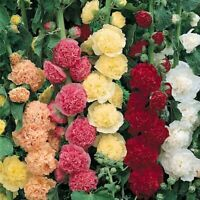 HOLLYHOCK Chaters Double Mixed 20 Seeds flower garden cottage Alcea Rosea SUMMER