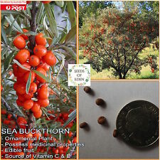 10 SEA BUCKTHORN / SEABERRY SEEDS(Hippophae rhamnoides); Medicinal Shrub