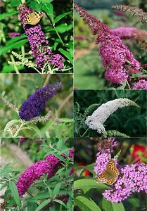 Buddleja davidii Sommerflieder Schmetterlingsstrauch im Topf verschiedene Größen