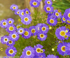 2000 Swan River Daisy Seeds Brachycome Iberdifolia Dwarf Mixed Colors Flower NEW