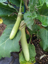 Thai GREEN Eggplant - Delicious & High Yield - 15 Seeds