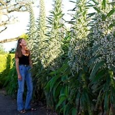 ECHIUM Pininana White SNOW TOWER Huge *Up To 15 Feet Tall!!* 15 Meters, 10 Seeds