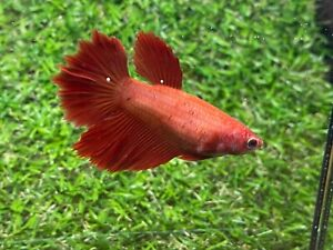 Live Betta Fish - Female - Fancy Halfmoon Betta HMPK , Age 4 month From Thailand