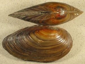 Swan Mussel (Anodonta cygnea)