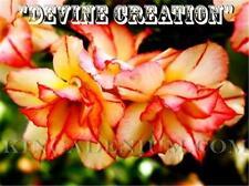 "New listing Adenium Obesum Desert Roses Double Yellow Flower "" Devine Creation "" 10 Seeds"