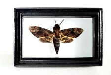 Acherontia:DEATH'S HEAD Moth in the movie silence of the lambs! Real moth framed