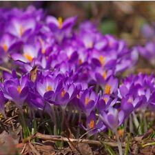 100Pcs Crocus Seeds Sativus Flower Bulbs Saffron Flowers Get Best Spice Organic,