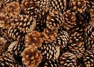 1kg box Fir Pine Cones 4 - 7cm Approx 65 Christmas Holly Ring Wreath Decoration