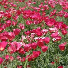 Poppy- Carmine King- 500 Seeds