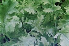 """20 semi foglio SENAPE """"pizzo"""", Brassica juncea #593"""