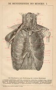 Stampa Antica 1898 = ORGANI INTERNI TRONCO = MEDICINA Anatomia =  Old Print