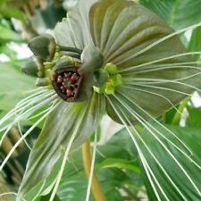 Green Isle Bat Plant (Tacca chantrieri green isle) 10 Fresh November 2017 Seeds