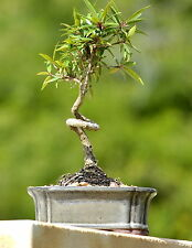 COILED FICUS BONSAI TREE BEGINNER TREE INDOORS
