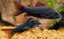 10 (ten) x Black Corydoras (Catfish)