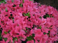 Zwergazalee Little Red 20-25cm Rhododendron obtusum Frühlingsblüher