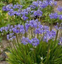 Agapanthus Storm Cloud - 3 Live Plants - Beautiful Blooming Perennial Ornamental