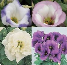 Flower - Lisianthus Sapphire Mixed  - 10 Pelleted Seeds