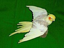 COCKATIEL Exotic Pet Aviary Bird Taxidermy