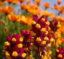 * GYPSY DANCER * Flower Seeds * Great Display! *