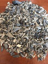 Lot of 50 Aurora NC Fossil Shark Teeth