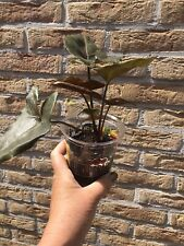 Syngonium podophyllum 'Maria Allusion' plant (no philodendron)