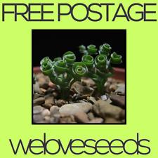 LOCAL AUSSIE STOCK - Albuca Spiralis, Spiral Grass Bonsai Seeds ~5x FREE SHIP