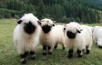 Gerahmter Druck - Valais Blacknose Schaf (Nutztiere Bild Plakat Kunstwerk Foto