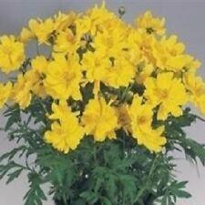 Cosmos - Cosmic Yellow - 25 Seeds