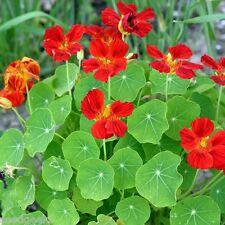 Nasturtium, Empress India Heirloom Seeds - Non-Gmo -Untreated - Open Pollinated!