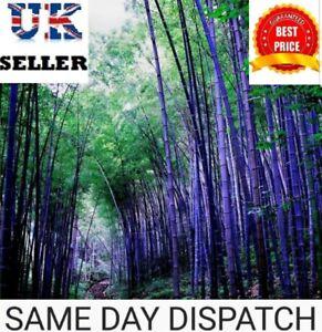 Purple Bamboo, Timor Bambusa Lako - Viable Seeds - UK SELLER