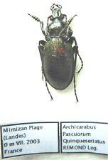Carabus archicarabus nemoralis quinqueseriatus (male A2) from FRANCE