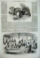 Old Antique Print 1859 Rabbits Crystal Palace David Sassoon Bombay India 19th