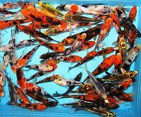 "6- Lot Assorted 4""-6"" Standard Fin Live Koi Fish For Koi Pond Garden PKF"