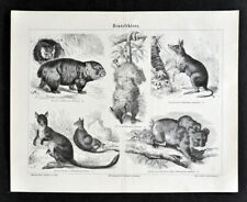 1875 Meyer Mammal Print Marsupial Kangaroo Wombat Possum Koala Zoology Animals
