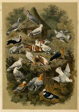 Antique Print-BIRDS-PIGEONS-DOVECOTE-Le Maout-1853