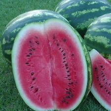 100 Heirloom Crimson Sweet WATERMELON Melon Seeds + Gift - COMB S/H